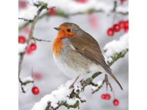 Image of Robin and Berries Christmas card – red-breasted Robin on a snowy branch