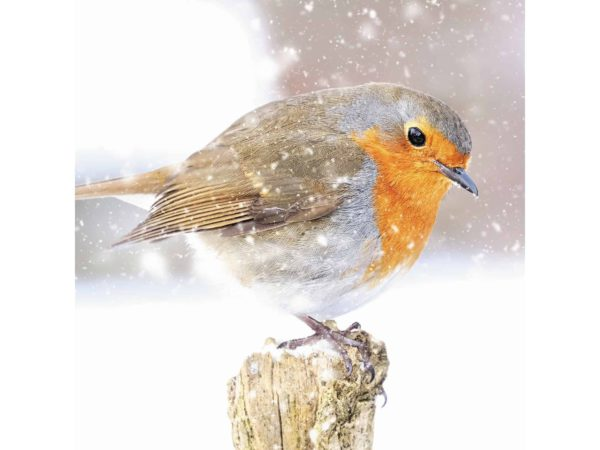 Image of Robin on a Snowy Post Christmas card – a red breasted robin on a winters day.