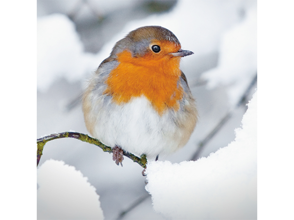 A red-breasted robin perching on a branch surrounded by snow.